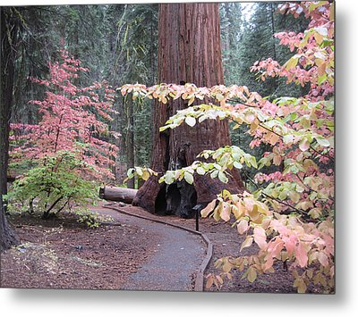 Sequoia  Trees 3 Metal Print by Naxart Studio