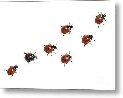 Seven-spotted Lady Beetles Metal Print