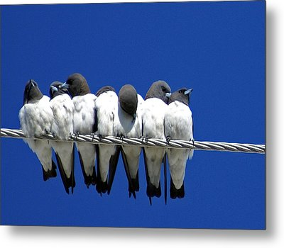 Seven Swallows Sitting Metal Print by Holly Kempe