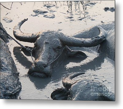 Several Water Buffalos Wallowing In A Mud Hole In Asia - Closer Metal Print by Jason Rosette