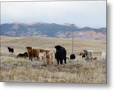 Shaggy-coated Cattle Near Jefferson Metal Print by Carol M Highsmith