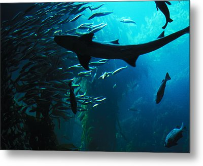 Shark Above Metal Print by Carl Purcell