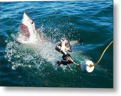 Shark Attack Metal Print by Andrea Cavallini