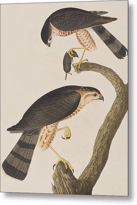 Sharp-shinned Hawk Metal Print by John James Audubon