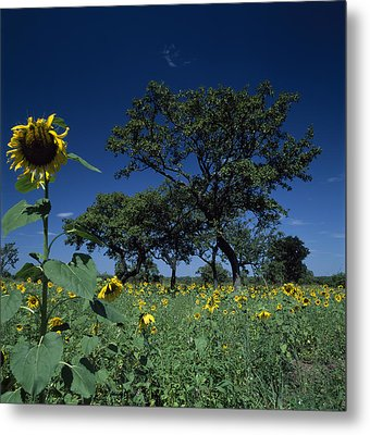 Shea Trees Intercropped With Sunflowers Metal Print by David Pluth