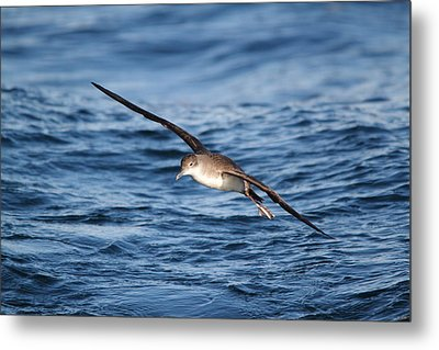 Metal Print featuring the photograph Shearwater by Richard Patmore