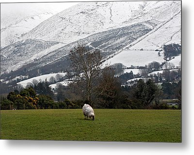 Sheep Grazing Atthe Galtees  Ireland's Tallest Inland Mountains Metal Print by Pierre Leclerc Photography