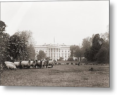 Sheep Grazing On The White House Lawn Metal Print by Everett