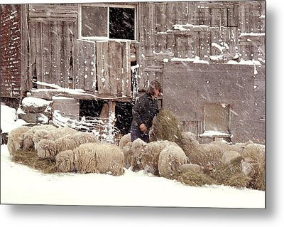 Sheep In Underhill Vermont. Metal Print