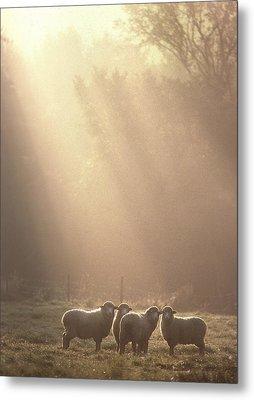 Sheep Underhill Vt Metal Print by George Robinson
