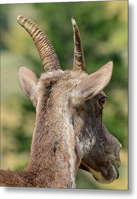 Metal Print featuring the photograph Sheepish Look by Bruce Gourley