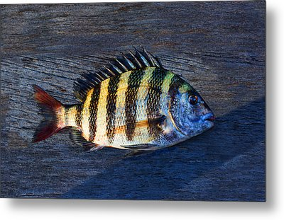 Sheepshead Fish Metal Print