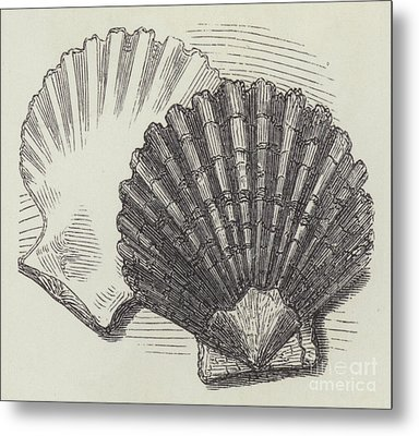 Shells Metal Print by English School