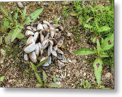 Metal Print featuring the photograph Shells Of Freshwater Mussels by Michal Boubin