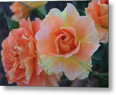 Metal Print featuring the photograph Sherbert Rose by Marna Edwards Flavell