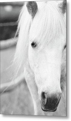Shetland Pony Metal Print by Tina Lee
