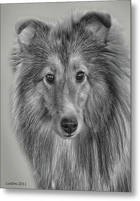 Shetland Sheepdog Metal Print by Larry Linton
