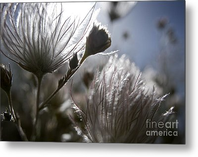 Shimmering Flower II Metal Print by Ray Laskowitz - Printscapes
