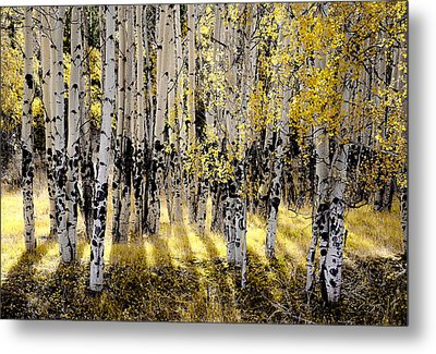Shining Aspen Forest Metal Print