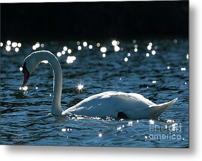 Metal Print featuring the photograph Shining Swan by Michelle Wiarda