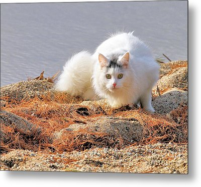 Shore Kitty Metal Print by Debbie Stahre