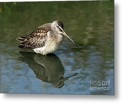 Metal Print featuring the photograph Short-billed Dowitcher by Sharon Talson