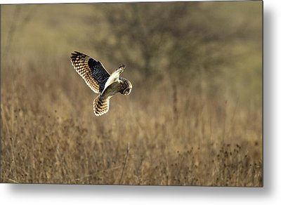 Short-eared Owl About To Strike Metal Print