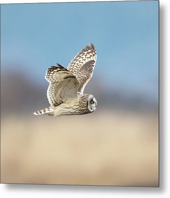 Metal Print featuring the photograph Short-eared Owl In Flight by Angie Vogel