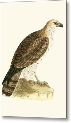 Short Toed Eagle Metal Print by English School