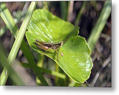 Short Winged Green Grasshopper Metal Print