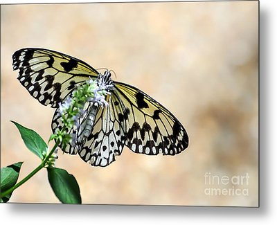 Showy Nymph Metal Print by Debbie Green