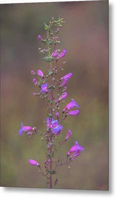 Metal Print featuring the photograph Showy Penstemon by Alexander Kunz