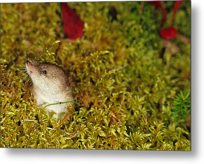 Shrew Pokes Head Out Of Tundra Metal Print by Michael S. Quinton