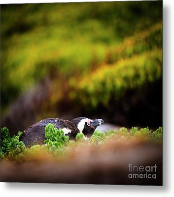 Shy African Penguin Metal Print by Tim Hester