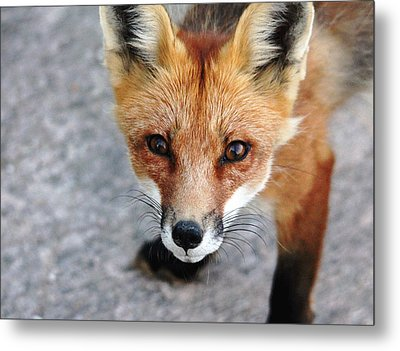 Metal Print featuring the photograph Shy Red Fox  by Debbie Oppermann