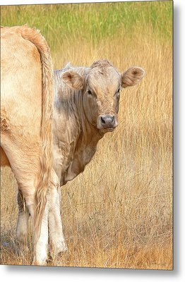 Shy White Calf Metal Print by Jennie Marie Schell