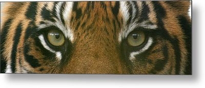 Siberian Eyes - Tiger Metal Print