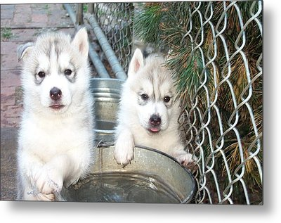 Siberian Husky Puppies Metal Print by Jean Gugliuzza