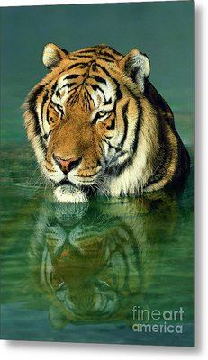 Siberian Tiger Reflection Wildlife Rescue Metal Print by Dave Welling