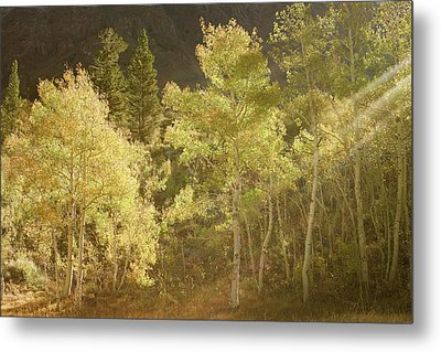 Metal Print featuring the photograph Side-lit Aspens - Autumn In Eastern Sierra California by Ram Vasudev