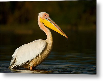 Side Profile Of A Great White Pelican Metal Print by Panoramic Images