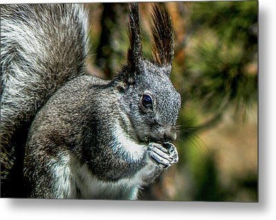 Silver Abert's Squirrel Close-up Metal Print