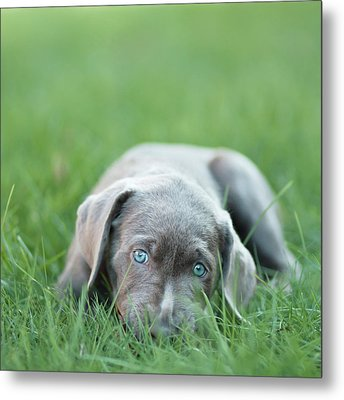 Silver Lab Puppy Metal Print by Laura Ruth