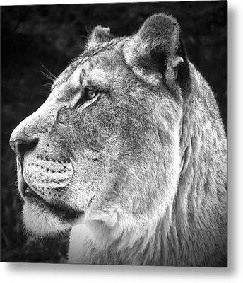 Silver Lioness - Squareformat Metal Print by Chris Boulton