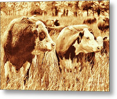 Simmental Bull 3 Metal Print by Larry Campbell