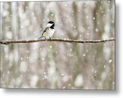 Sing Chickadee Sing Metal Print by Angie Rea
