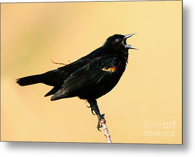 Singing In The Sun Metal Print by Mike Dawson
