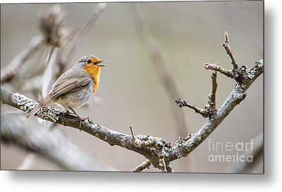 Singing Robin Metal Print by Torbjorn Swenelius