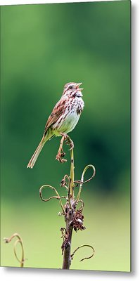 Singing Song Sparrow Metal Print