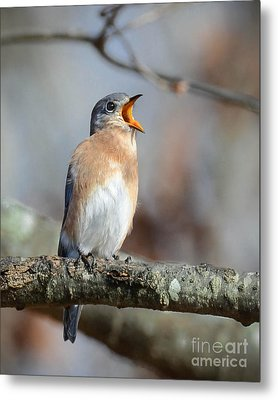 Singing This Song For You Metal Print by Amy Porter